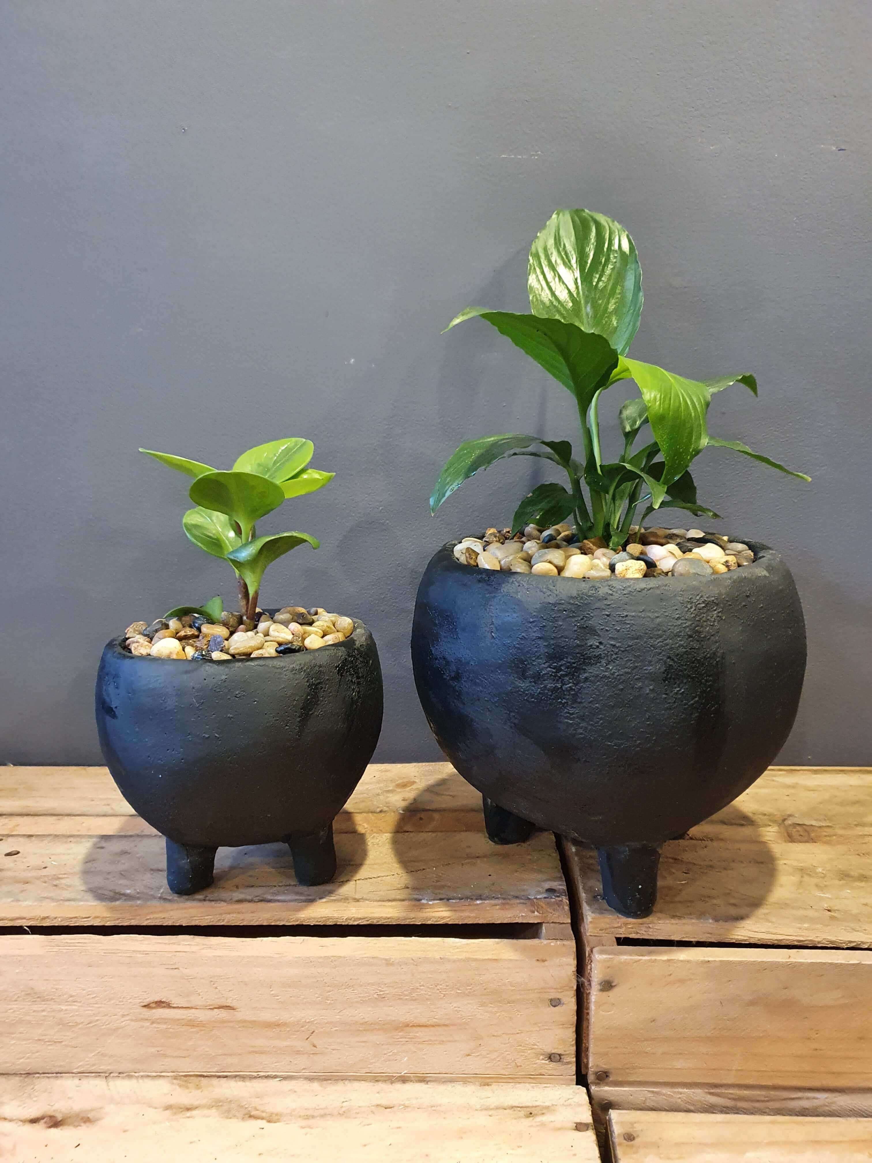 Monte pots with plant